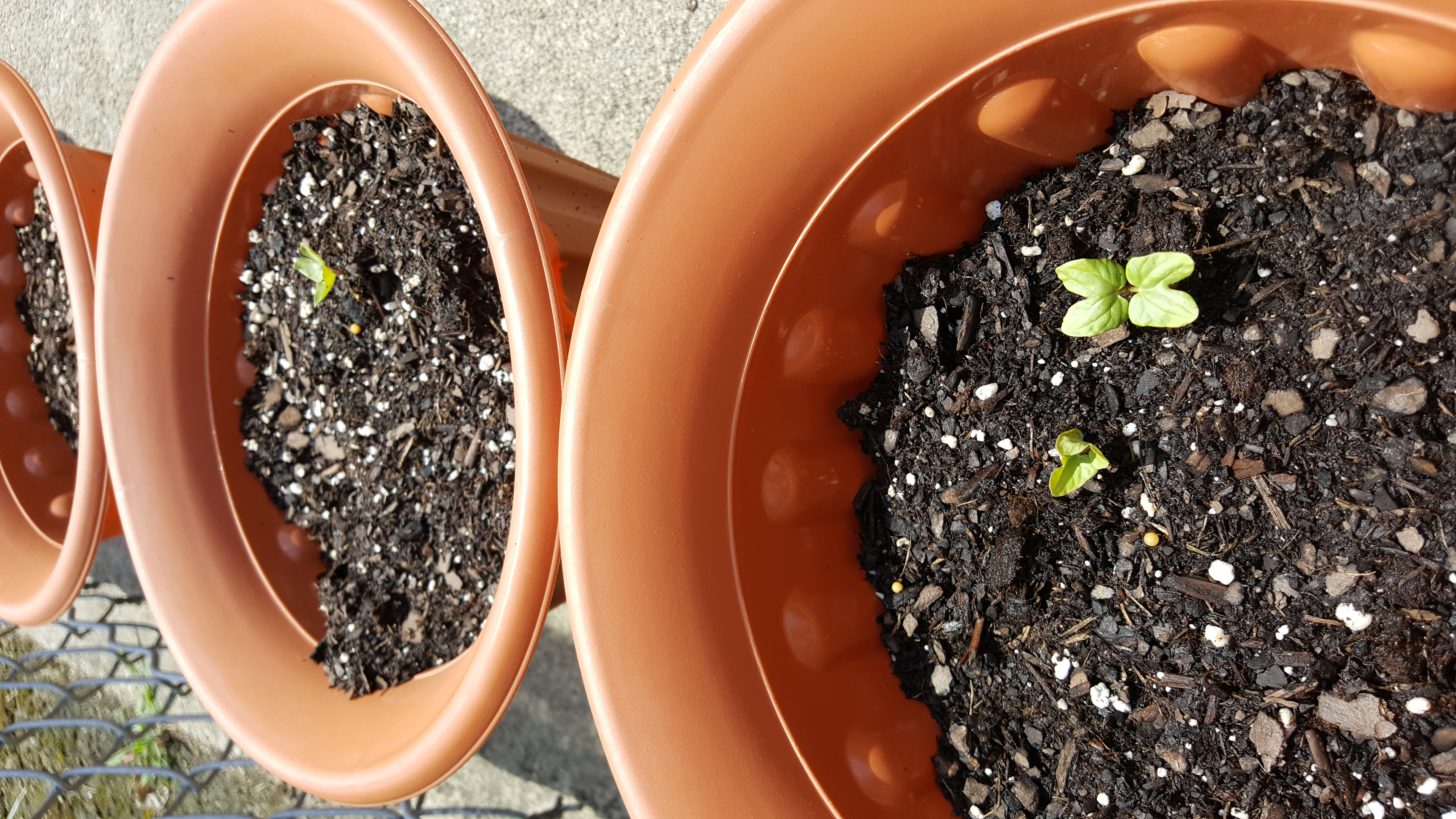 Sprouts after only three days